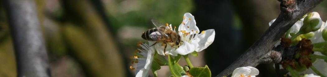 Blüte und Biene