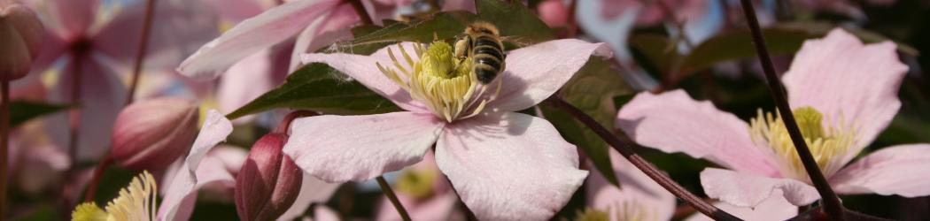 Biene und Clematis